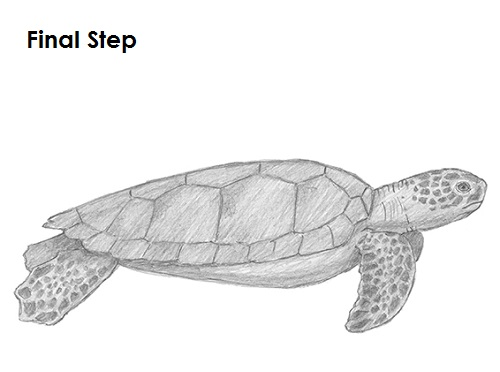 Draw Sea Turtle Last