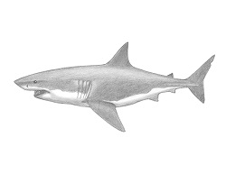 How to Draw a Great White Shark Side View