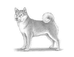 How to Draw a Shiba Inu Puppy Dog