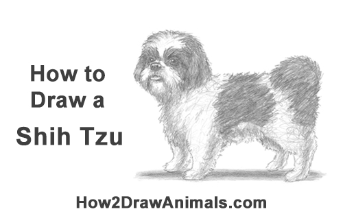 How to Draw a Cute Shih Tzu Puppy Dog