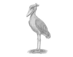 How to Draw a Shoebill Whalehead Stork