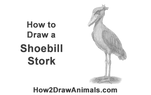 How to Draw a Shoebill Whale-headed Stork Bird