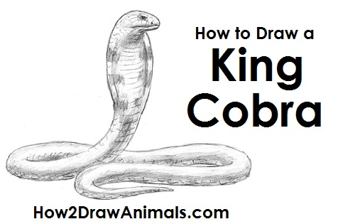 How to Draw a King Cobra Snake Hood Side View