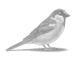 How to Draw a Song Sparrow