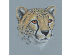 Cheetah Portrait Head