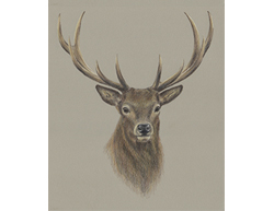 How to Draw a Deer Stag Buck Portrait Antlers