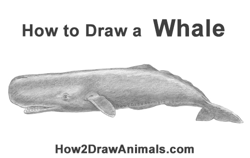 How to Draw a Sperm Whale Side