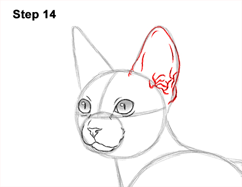 How to Draw a Sphynx Hairless Cat 14