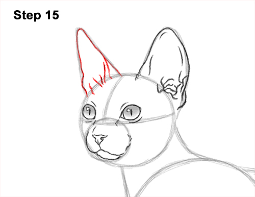 How to Draw a Sphynx Hairless Cat 15