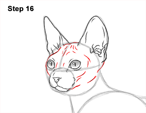 How to Draw a Sphynx Hairless Cat 16