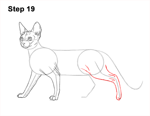 How to Draw a Sphynx Hairless Cat 19