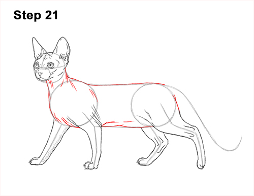How to Draw a Sphynx Hairless Cat 21