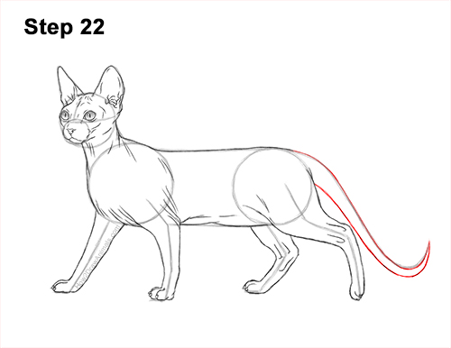 How to Draw a Sphynx Hairless Cat 22