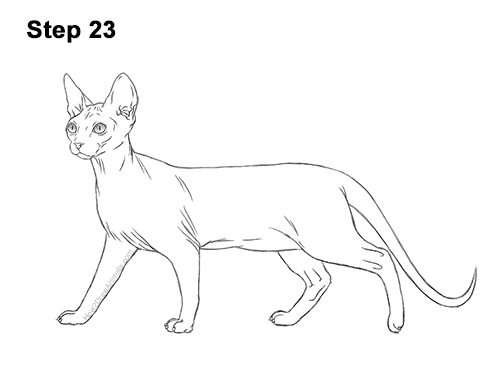 How to Draw a Sphynx Hairless Cat 23