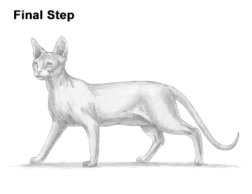 How to Draw a Sphynx Hairless Cat