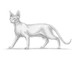 How to Draw a Sphynx Hairless Cat Side