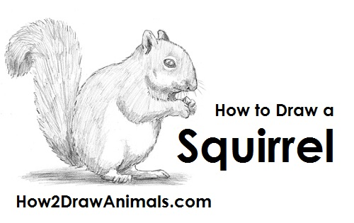 Draw Squirrel
