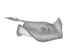 How to Draw a Southern Common Stingray