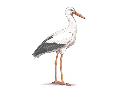 How to Draw a White Stork Bird Side View