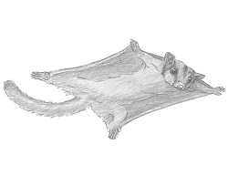 How to Draw a Sugar Glider Flying