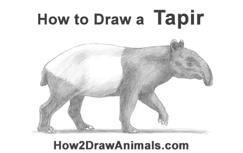 How to Draw a Tapir Malayan Asian Indian Side