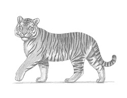 How to Draw a Siberian Tiger Side View