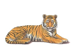 How to Draw a Tiger Side Color