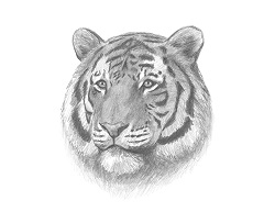 How to Draw a Siberian Tiger Head Detail Portrait