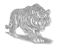 How to Draw an Angry Tiger Roaring