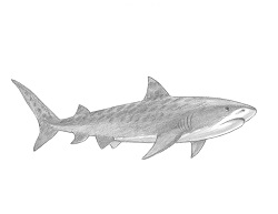How to Draw a Cool Tiger Shark Swimming