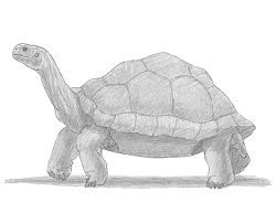 How to Draw a Tortoise Side View
