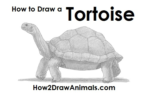 How to Draw a Tortoise
