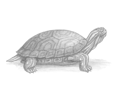 How to Draw a Turtle Red-Eared Slider Side View