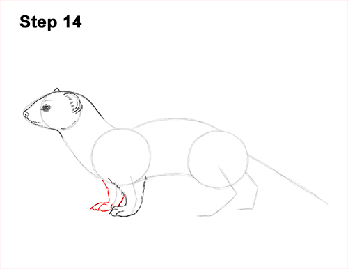 How to Draw a Common Least Weasel 14