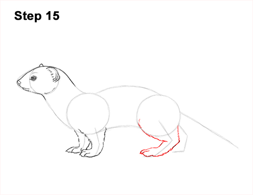 How to Draw a Common Least Weasel 15