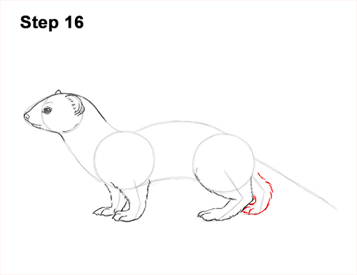 How to Draw a Common Least Weasel 16