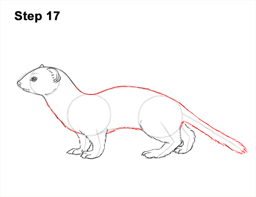 How to Draw a Common Least Weasel 17