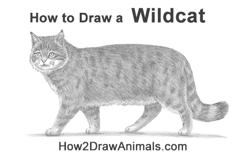 How to Draw a European Wildcat Cat Side View