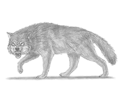 How to Draw a Wolf Snarling Angry