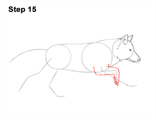 How to Draw a Grey Timber Wolf Running Hunting 15