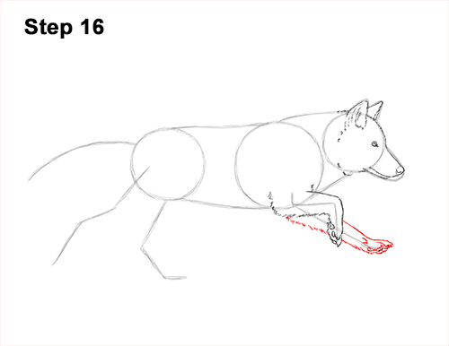 How to Draw a Grey Timber Wolf Running Hunting 16