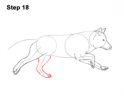 How to Draw a Grey Timber Wolf Running Hunting 18