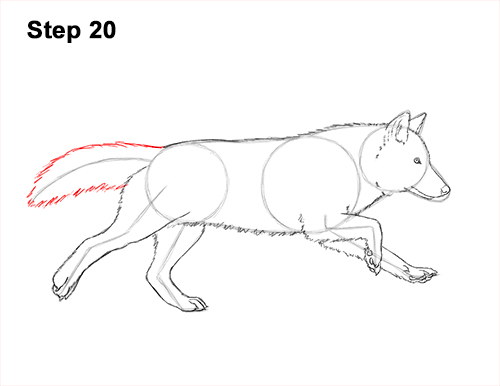 How to Draw a Grey Timber Wolf Running Hunting 20