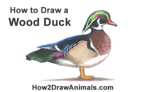 How to Draw a Wood Duck Male Drake Carolina Color
