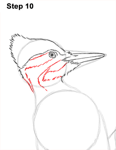Draw Pileated Woodpecker 10