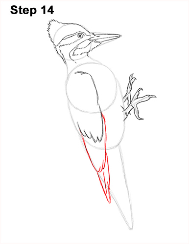 Draw Pileated Woodpecker 14