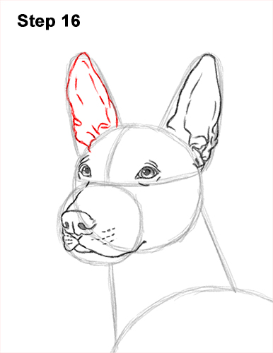 How to Draw a Xoloitzcuintle Mexican Hairless Dog 16
