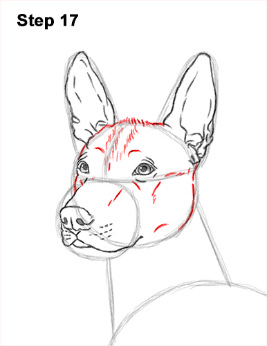 How to Draw a Xoloitzcuintle Mexican Hairless Dog 17