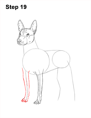 How to Draw a Xoloitzcuintle Mexican Hairless Dog 19
