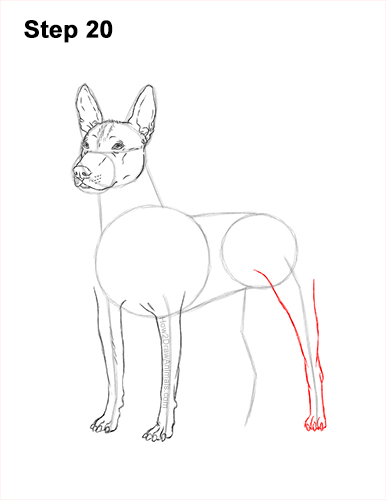How to Draw a Xoloitzcuintle Mexican Hairless Dog 20